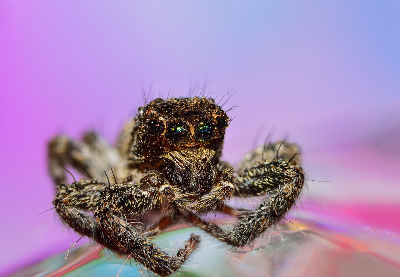 Macro Shot Of Jumping Spider On Water Against Pink Background