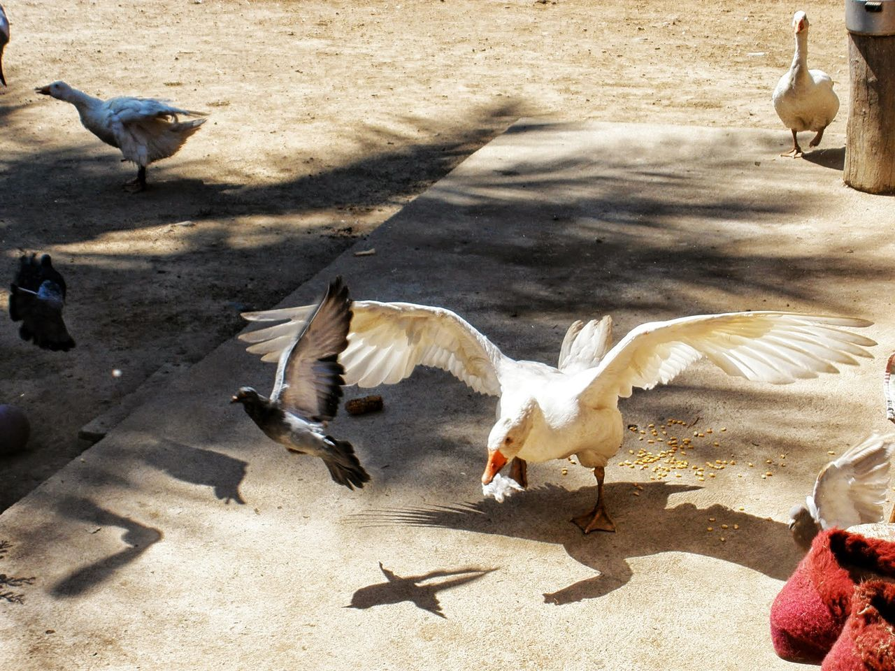 bird, animal themes, animals in the wild, animal wildlife, spread wings, shadow, sunlight, flying, day, nature, flapping, no people, outdoors, large group of animals, goose, motion
