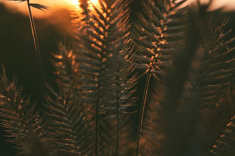 Close-up of pine tree during sunset