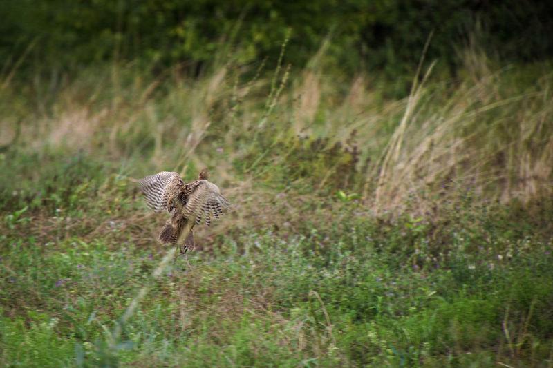 Pheasant landing in field