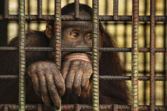 Cage Trapped Prison Animal Indoors  Mammal Orangutan One Animal Prisoner Monkey Chimpanzee No People Security Bar Animal Themes Close-up Full Frame Theme Texture Pattern Textured  Sad Monkey Face
