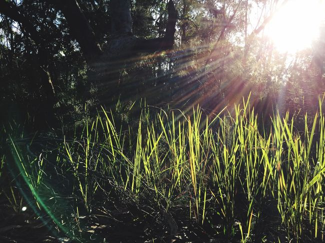 Iphonephotography IPhone IPhoneography Nature Sunset Lens Flare Grass