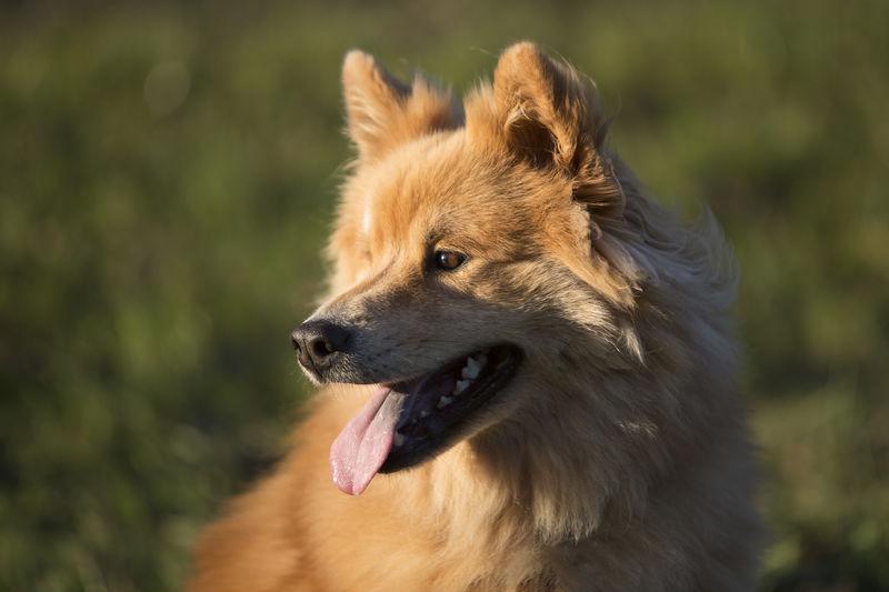 Portrait of an eurasian dog outdoors in autumn