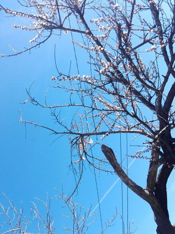 Branch Tree Blue Sky Beauty In Nature Nature Low Angle View Outdoors Spring Blossoms Apricot Blossom Apricot Tree Cais Edited By @wolfzuachis Wolfzuachiv On Market Huaweiphotography Ionitaveronica Wolfzuachis Showcase: 2017 Veronicaionita @WOLFZUACHiV Showcase: March Veronica Ionita Eyeem Market Blossoming Apricot Tree