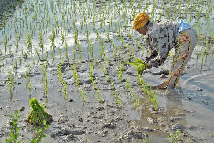 Agriculture Day Menanam Nature Nenek No People Outdoors Padi Water