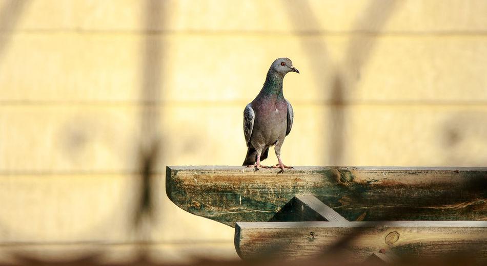Clear Sky Pingin Bird Daylight