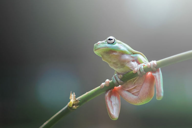 frogs, dumpy frogs, flying frogs, tree frogs on twigs One Animal Animal Animal Themes Plant Animals In The Wild Animal Wildlife Close-up Vertebrate Focus On Foreground Nature No People Day Green Color Flower Beauty In Nature Outdoors Plant Stem Flowering Plant Twig Growth