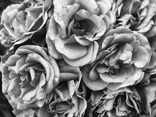 Black & White Pink Roses. Robin Fifield - Flora Roses B&w Photography Not Pink Flower Collection B&w Flowers