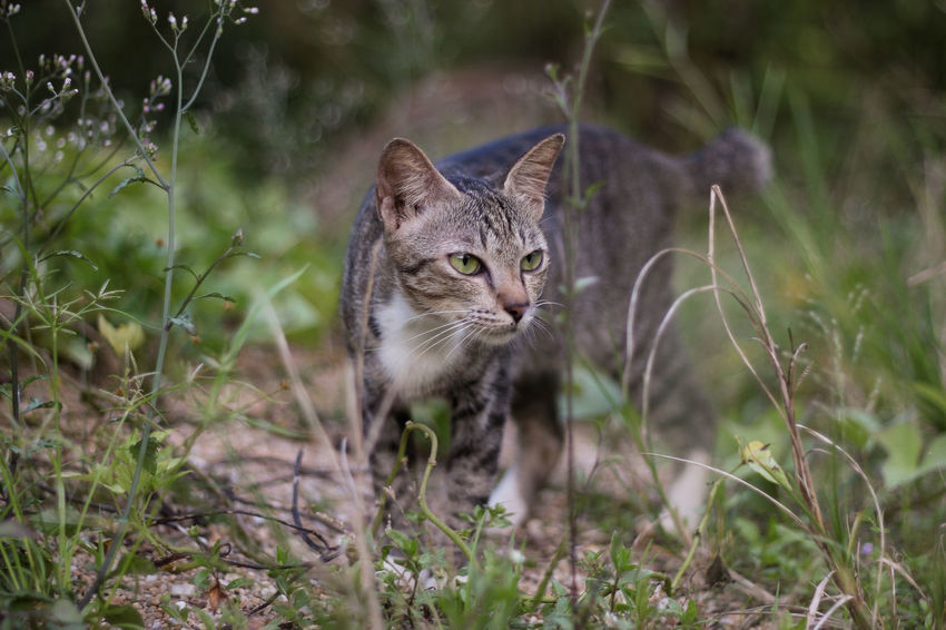 staring at something Animal Themes Close-up Day Domestic Animals Domestic Cat Feline Field Focus On Foreground Grass Looking At Camera Mammal Nature No People One Animal Outdoors Pets Plant Portrait