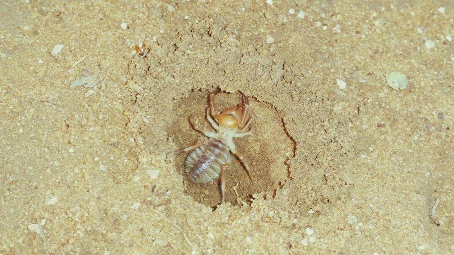 Wind Scorpian Camel Spider Arachnids