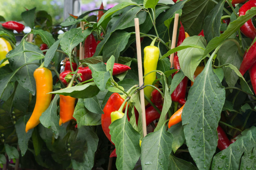 Ripe chili peppers and peppers hang on a shrub Chili Pepper Close-up Day Food Food And Drink Freshness Green Color Growth Healthy Eating Leaf Nature No People Outdoors Pepper Plant Plant Part Red Red Chili Pepper Ripe Spice Vegetable Wellbeing