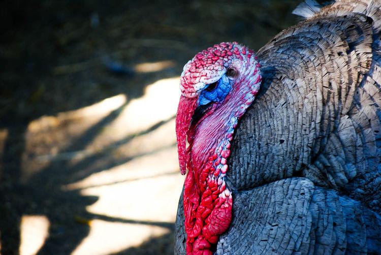 Close-up of turkey