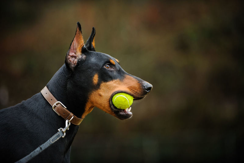 Close-Up Of Doberman Pinscher Carrying Ball In Mouth