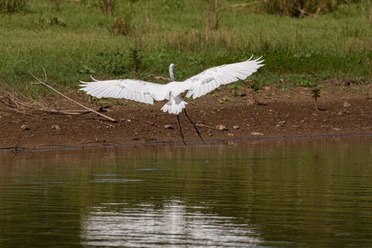 White bird flying over lake