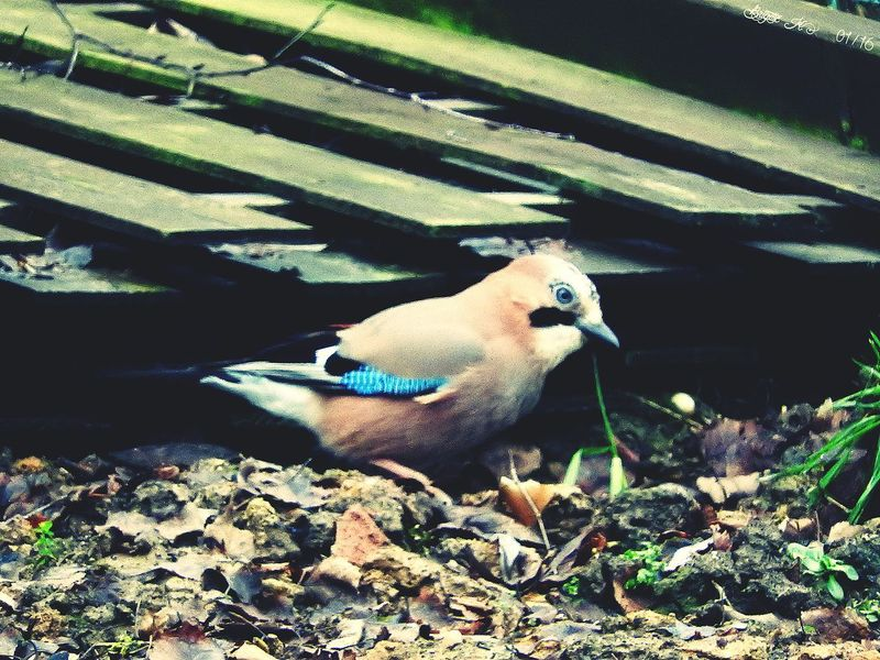 Jay Bird Animal Themes One Animal Animals In The Wild Sunlight No People Animal Wildlife Nature Day Bird Outdoors Mammal Beauty In Nature Nature EyeEm Nature Lover Through The Window On My Doorstep