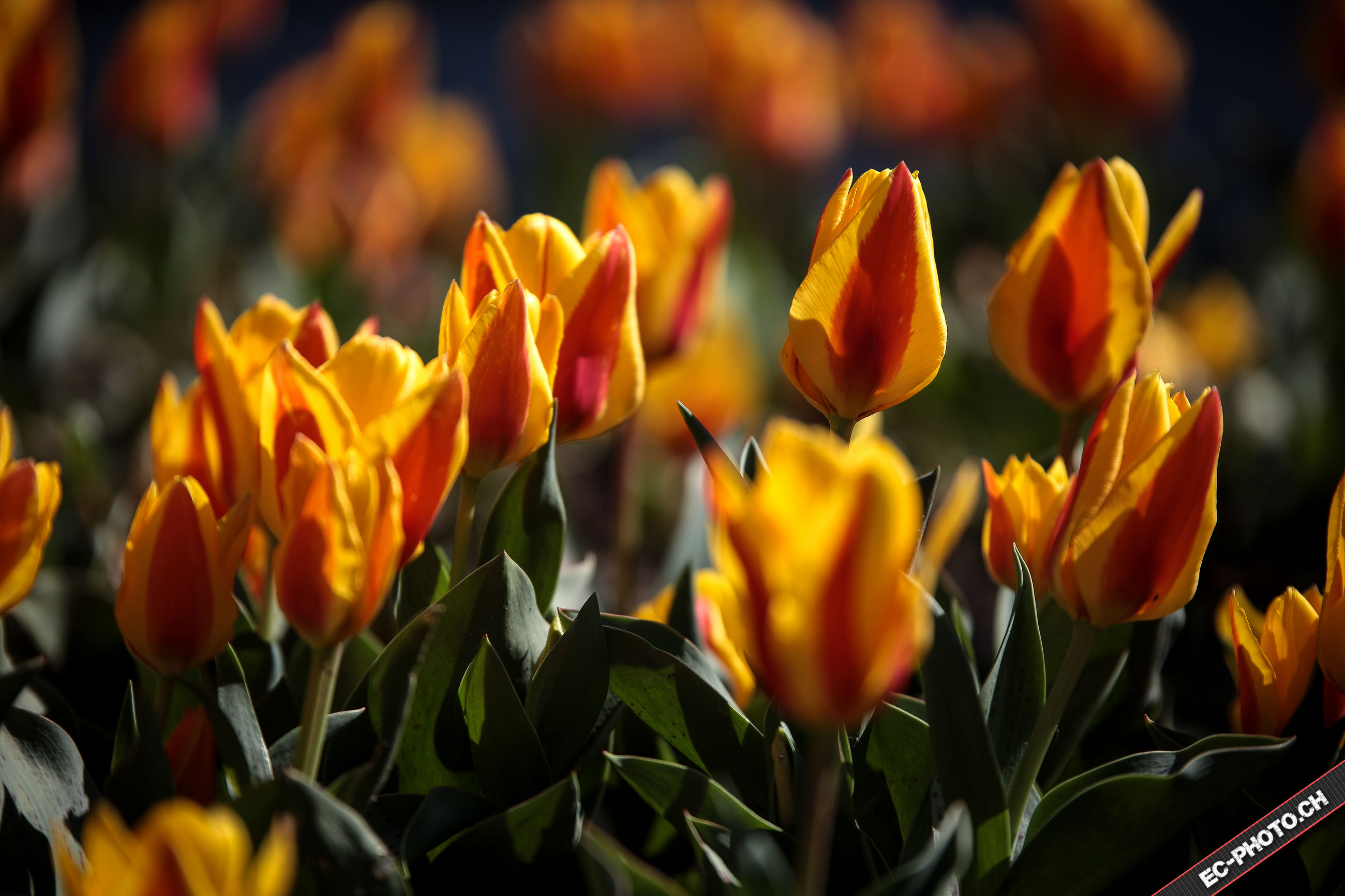 flower, freshness, petal, growth, yellow, fragility, beauty in nature, flower head, tulip, focus on foreground, blooming, plant, nature, close-up, orange color, leaf, stem, park - man made space, field, outdoors