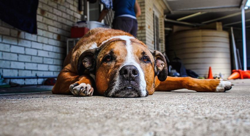 Monday morning vibes Dog Looking At Camera Close-up Pets Domestic Animals Mammal Day Depth Of Field Focus On Foreground Lying Down Tired Dogs Of EyeEm Travel Roadtrip Queensland Australia Canon Flooring One Animal EyeEm Gallery EyeEm Best Edits Contrast