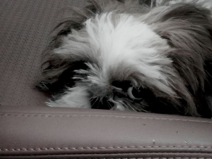 Shihtzu My Doggy Shih Tzu Sleepy
