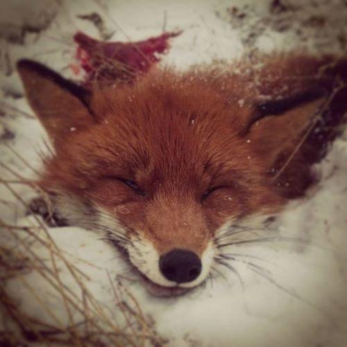 A Fox on Christmaseve2015 Hunterforlife Predator Sarcoptesscabiei Oviken Jamtland Oneshotonekill Jaktkunskap Borntohunt Myamazingbackyard