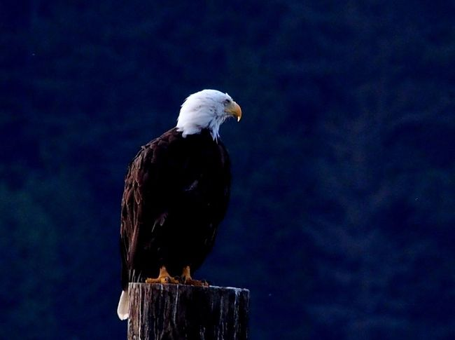 Eagles of Telegraph Cove! Bald Eagle Eagle Bird Photography EyeEmBirds Birds Of EyeEm  Birdwatching What I Value