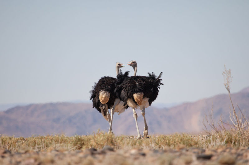 Low Angle View Of Two Ostriches On Landscape Against Sky