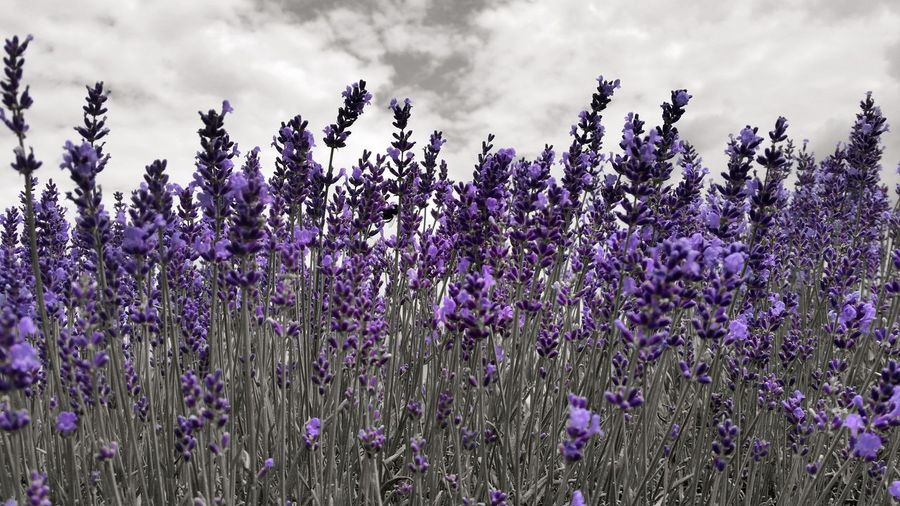 Flower Purple Growth Lavender Colored Lavender Nature Cloud - Sky Beauty In Nature Fragility Blossom Flowerbed Perfume Flower Head Black And White With A Splash Of Colour 😚 My Year My View Eyem4photography Best Of EyeEm Masterclass Master_shots Masterpiece EyEmNewHere Popular Photos Master_pics Taking Pictures