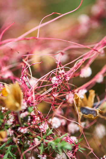 Close-up of pink flowering plant