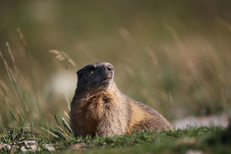 Close-up of marmot on grass