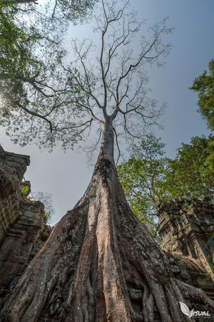 Ancient Trees in Angkor - March 2014 Angkorarcheologicalpark Travel Photography Cambodia EyeEm Best Shots EyeEm Best Shots - HDR HDR Collection EyeEm Best Edits Temples Trees EyeEm Nature Lover