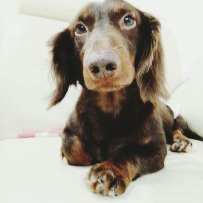 Elegance. Pets Dog Dog❤ Dog Love Dogs Of EyeEm Sausagedog Dachshund Dog Lover Cute Pets Doglover Dachshundlove I Love My Dog Enjoying Life Doggie