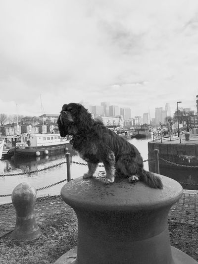 Cavalier king charles spaniel sitting on metallic bollard at port in canary wharf