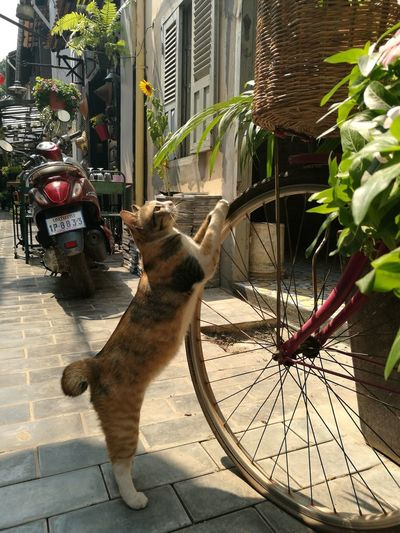 cat modeling On The Streets Cambodia Localtourism Siemreap Wanderingaroundaimlessly Wanderer Photographlikepainting Streetphotography EyeEm Cats ASIA Eyeem Asia Cat One Animal Sunlight Day Pets Outdoors Shadow Animal Themes Domestic Animals