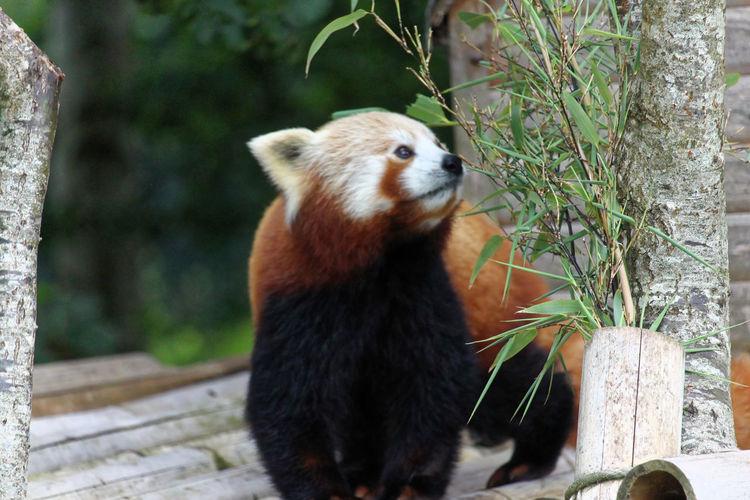 Red Panda One