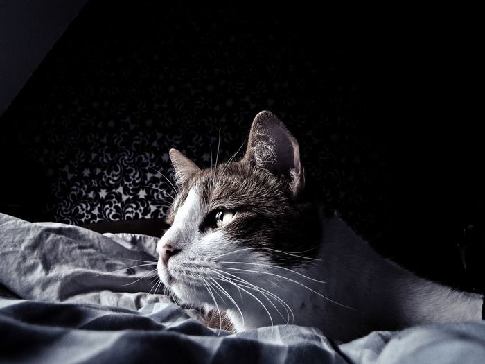 Cat lover Pets Pets Of Eyeem Mascota Eyemcat Cats Of EyeEm Catportrait Gatos Domestic Cat Portrait Catportrait Cat Lovers Cats Of EyeEm Cat Lover Red Cat 😺 EyeEm Selects One Animal Vertebrate Indoors  Pets Cat Feline Whisker Black Background Close-up Mammal