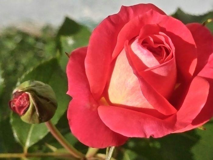 hübsche Rose ... pretty Rose Flower Petal Fragility Beauty In Nature Nature Flower Head Freshness Growth Pink Color Close-up Plant No People Pollen Outdoors Day Flowerlovers Flowerphotography Blumenfotografie Eyeem Roses Blumenliebe The Week On Eyem Beliebte Fotos Taking Photos EyeEmNewHere Rosenzauber