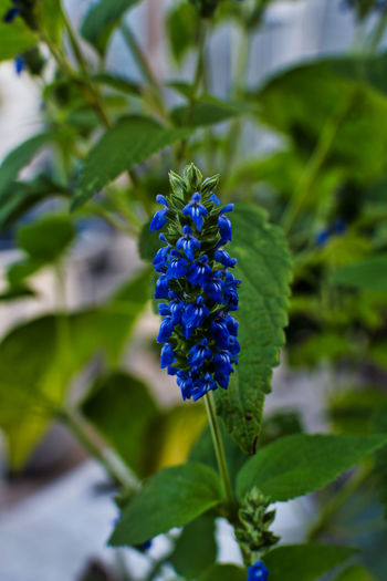 Beauty In Nature Blooming Blue Close-up Day Flower Flower Head Focus On Foreground Fragility Freshness Green Color Growth Leaf Nature No People Outdoors Petal Plant Purple EyeEmNewHere