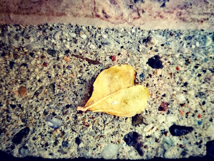 You could be the most cinic person in the world but, i am sure, that if you find a leaf like this you, instinctively, grab it up, watch it deeply and think about a person you used to love, that person who probably make you so cinic to put the leaf down and wondering why love is so hard sometimes 🍃 Heart Shape Heart ❤ Heartleaf Love Hard Hardlove YellowLeaf Ground Thinking Thinkingaboutlife person Thought Taking Photos Beach Leaf Close-up Fallen Leaf