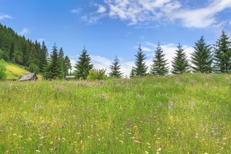 Green meadow full of colorful wild flowers and wooden cotages surrounded by fir trees, on a sunny day of summer, in Sadova, Romania. Carpathian Mountains Carpathian Nature Carpathians Romanian Forest Spring Landscape Blue Sky Field Forest Grass Landscape Meadow Mountain Nature Outdoors Sky Spring Time Tranquil Scene Tranquility Tree
