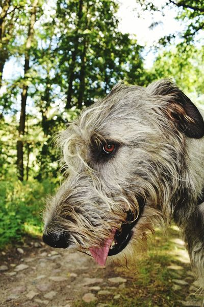 Taking Photos Check This Out Hello World Cheese! Hi! Summertime Showcase August Holiday 2016 August2016 Take A Walk Summer 2016 The Places ı've Been Today Irish Wolfhound Dogslife Cearnaigh Dogs Of Summer Dog Of The Day Dog Of My Life Dog Of Eyeem How Is The Weather Today? Dogwalk Dogs Of EyeEm Altmark Forestland Deep In The Woods
