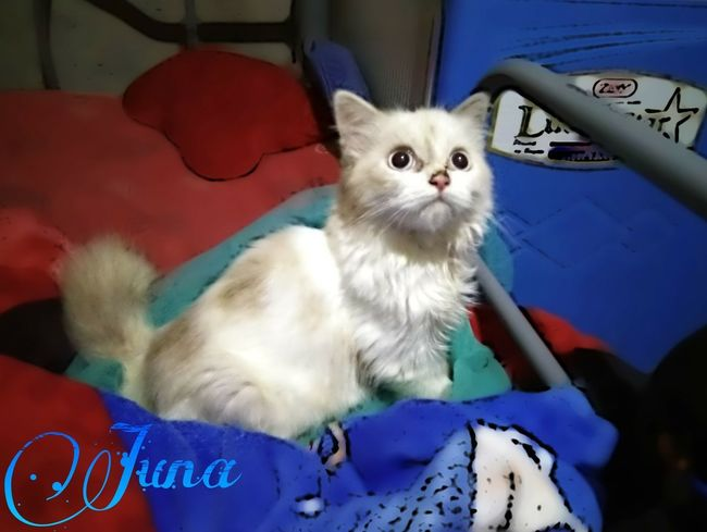 Adorable Juna! Persian Cat  Feline Feline Eyes Feline Photography, Cute Kitten Indoors  Pets