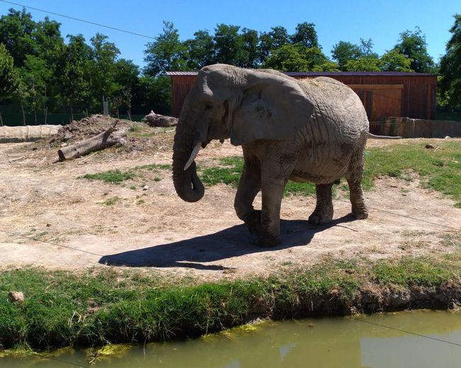Zoosafaripark Zoosafari #photography #Nature  Ravenna Ravenna, Italy Zenfone Photography #pet EyeEm Selects African Elephant Animal Trunk Tree Elephant Sunlight Tusk Sky Safari Animals My Best Travel Photo