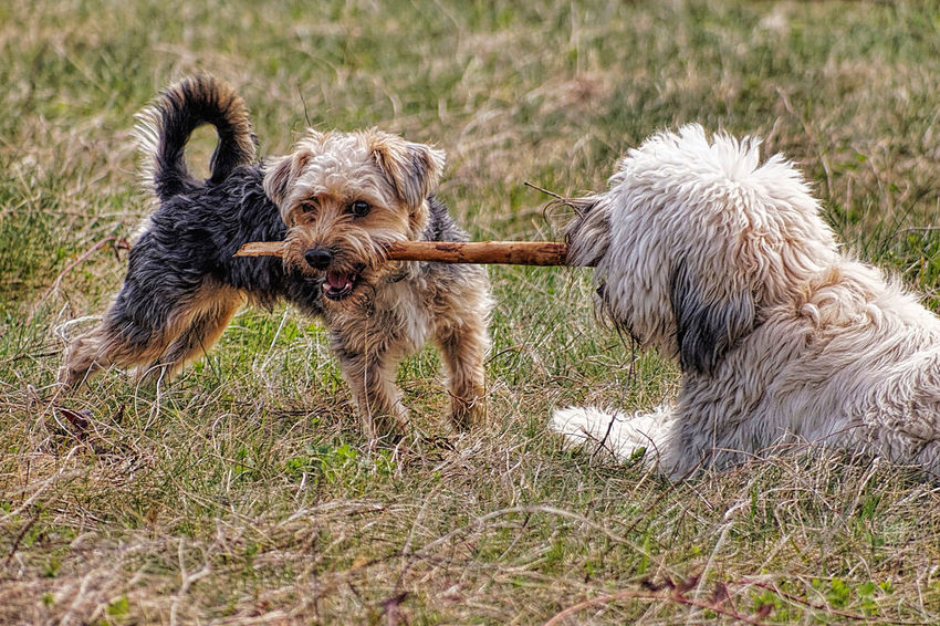 Animal Themes Day Dog Domestic Animals Grass Mammal No People Outdoors Pets Yorkie YorkieBestShots Yorkshire Terrier