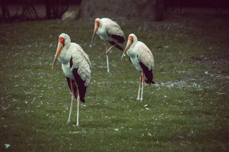 Close-Up Of Storks Perching On Grassy Field