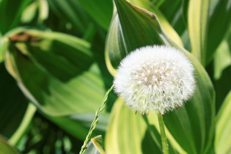 Beauty In Nature Close-up Dandilion  Flower Head Green Color Leaf Make A Wish! Nature No People Outdoors Plant