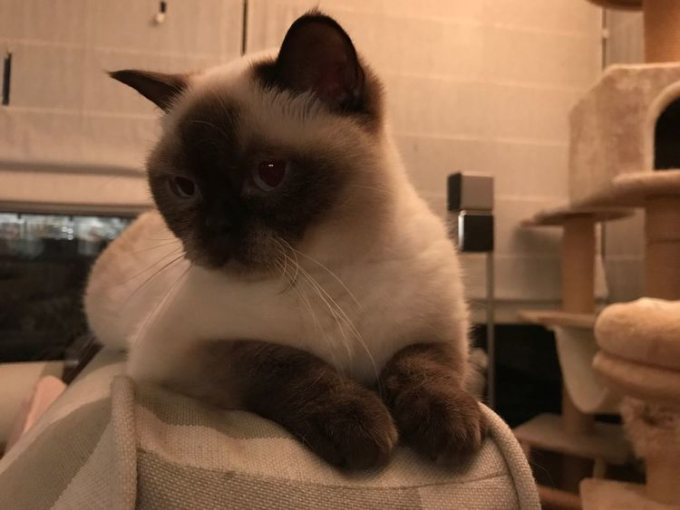 EyeEm Selects Domestic Cat Pets Domestic Animals Feline Mammal Animal Themes One Animal Indoors  Whisker Home Interior Siamese Cat No People Sitting Portrait Close-up Day EyeEmNewHere