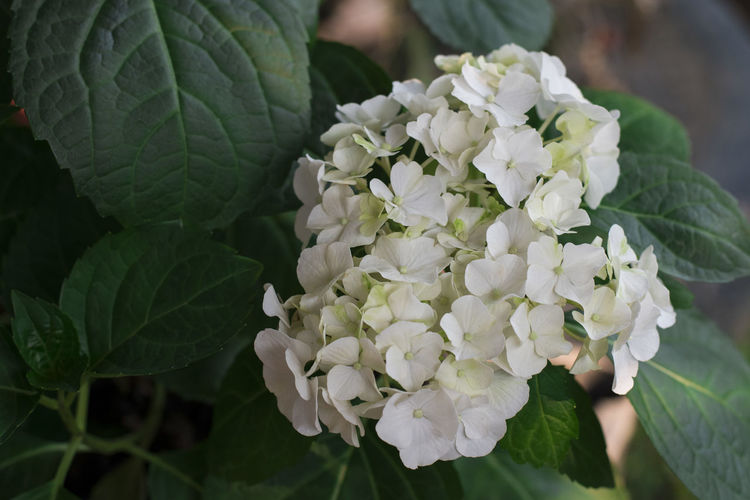 Flower Flower Beauty In Nature Plant Flowering Plant Freshness Leaf Plant Part Fragility Vulnerability  Growth Close-up Petal Nature White Color Flower Head Inflorescence Focus On Foreground Day Green Color Outdoors No People Bunch Of Flowers Lilac