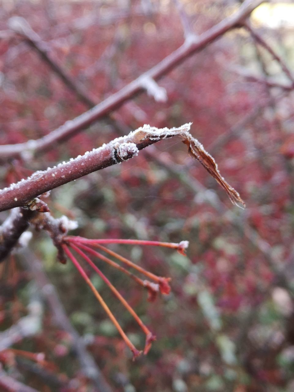 plant, tree, focus on foreground, day, close-up, nature, growth, branch, no people, beauty in nature, selective focus, flower, twig, outdoors, flowering plant, fragility, tranquility, winter, pink color, cherry blossom