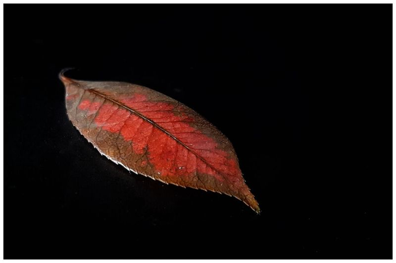 Close-up of autumn leaf against black background