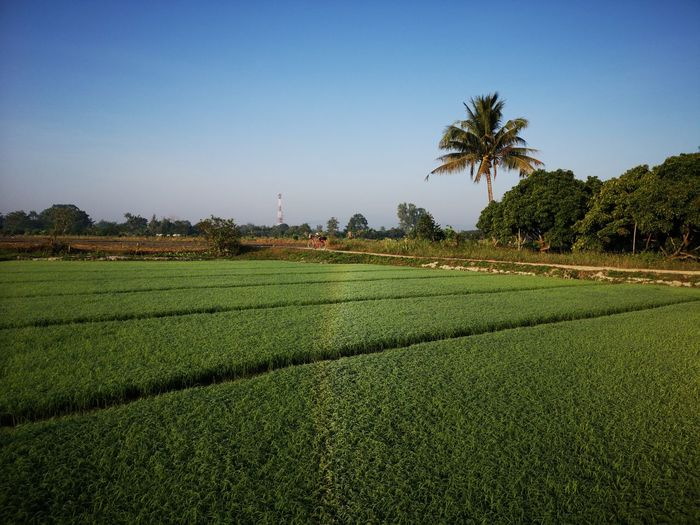 Scenic view of agricultural field against clear sky