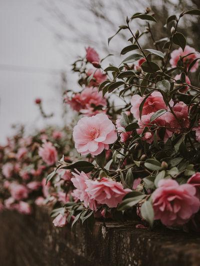 Pink camellia plant Pink Flower Camellia Flower Camellia Flora Flowers Spring Flowers Spring Bush Nature Softness Botanical